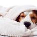 Thumbnail for Canine Influenza Virus – Update